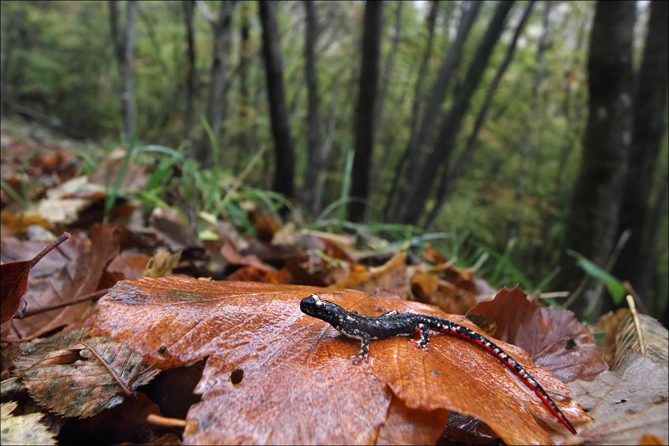a a salamandrina IMG_2089 b.jpg