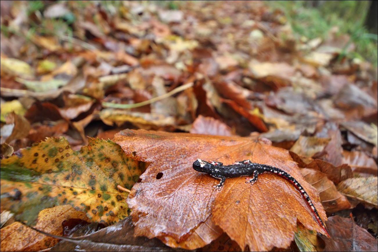 a a salamandrina IMG_2119.jpg