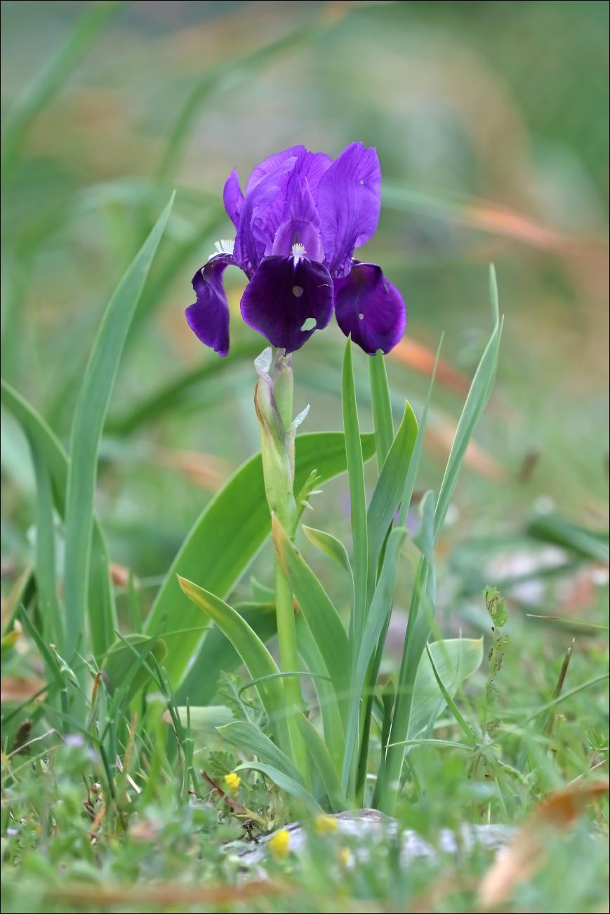 f iris marsica 5W8A5308 W.jpg