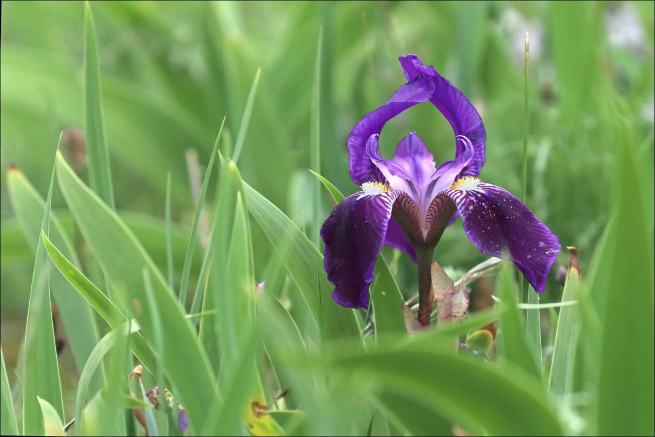 f iris marsica 5W8A5329 W.jpg