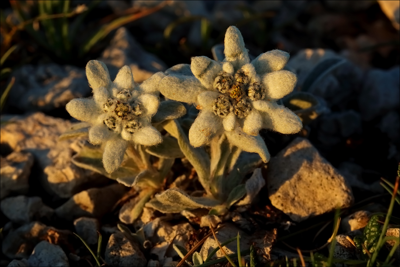 f stella alpina IMG_6880.jpg